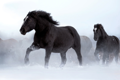 雪。農用馬も駆けだす