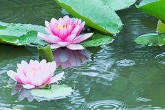 大粒の雨にうたれる蓮の花
