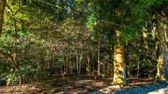 朝日あたる林