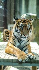 虎とにらめっこ