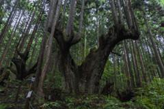 株杉の大きなお母さん