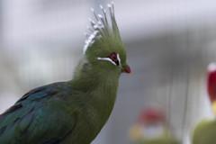 掛川花鳥園のスター達 (ギニアエボシドリ)