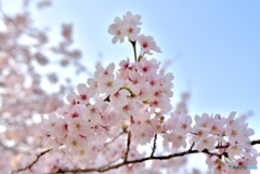 THE 桜