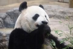 パンダのアップ