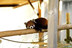 横たわるレッサーパンダ