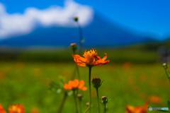 秋の富士山とキバナコスモス