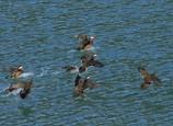 オシドリ 飛翔 着水