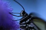 昆虫館の蝶 その2