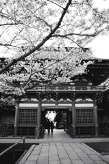 二人でくぐる門に桜の仕合わせを感じる。