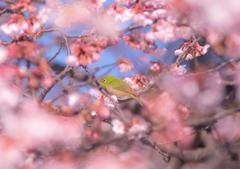 桜の渦に包まれて