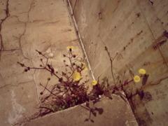 アスファルトに花