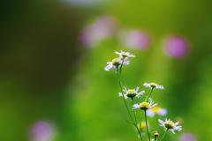 野に咲く 花のように ♪