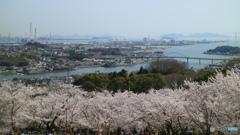 円通寺公園の桜
