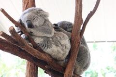 おやすみコアラ