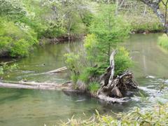 流木に生える松(戦場ヶ原)