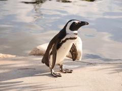 夕暮れのペンギン
