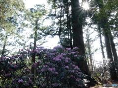 玉置神社 石楠花