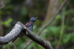 サンコウチョウ幼鳥