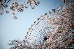 桜と観覧車