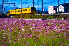 秋桜と黄色い電車