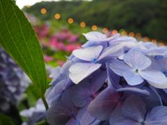 紫陽花Part2