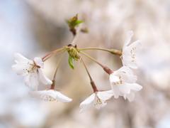奥山田のしだれ桜2