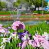 花ショウブと虹