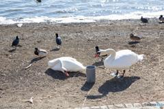 山中湖の白鳥たち