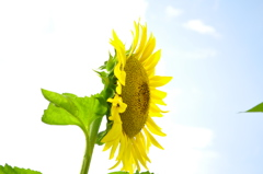 Sunshine,Sun Flower