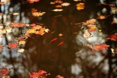 池と金魚と落ち葉