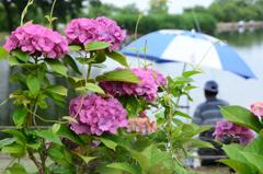 釣り人と紫陽花①
