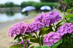 釣り人と紫陽花②