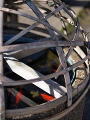 竹籠の中の金魚