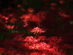 木漏れ日で輝く紅