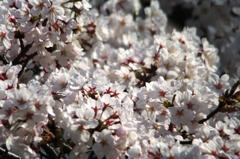 満開の桜 - 02