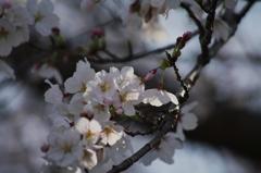 桜 木漏れ日を浴びて