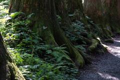 苔生す杉並木