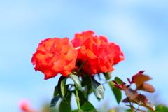 荒牧バラ公園の薔薇2