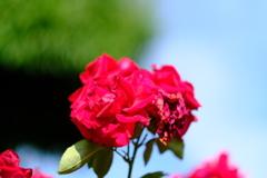 荒牧バラ公園の薔薇3