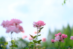 荒牧バラ公園の薔薇4