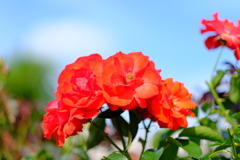 荒牧バラ公園の薔薇1