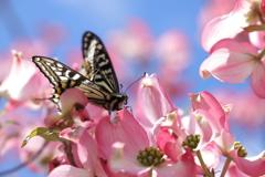 ハナミズキとモンシロ蝶