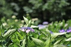 ウォーキング 紫陽花 7