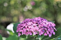 ウォーキング 紫陽花 6