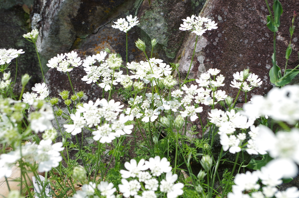 庭のオルレア