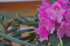 中山寺の石楠花