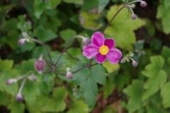庭の秋明菊