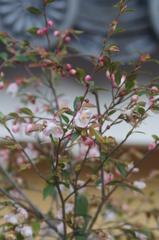 中山寺の姫山茶花