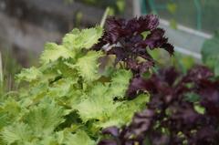 畑の紫蘇 ~青と紫~