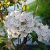 庭の亜米利加石楠花